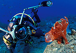 An underwater photographer taking a picture of a giant anglerfish with mouth extended, Nuweiba, Sinai