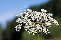 Moschusbock, Moschus-Bock, Moschusbockkäfer, Moschus-Bockkäfer, Blütenbesuch auf Wilde Möhre, Aromia moschata, musk beetle, L'aromie musquée