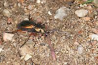 Gold-Laufkäfer, Goldlaufkäfer, mit erbeutetem Regenwurm, Goldschmied, Goldiger Laufkäfer, Goldhenne, Carabus auratus, golden ground beetle