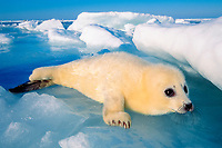 harp seal pup, Pagophilus groenlandicus (formerly Phoca groenlandica), early March, Magdalen Is., Quebec, eastern Canada, Atlantic Ocean