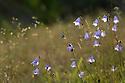 Harebells (Campanula rotundifolia). Peak District National Park, Derbyshire, UK. August.