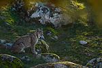 Iberian Lynx (Lynx pardinus) female, Sierra de Andujar Natural Park, Sierra de Andujar, Sierra Morena, Andalusia, Spain