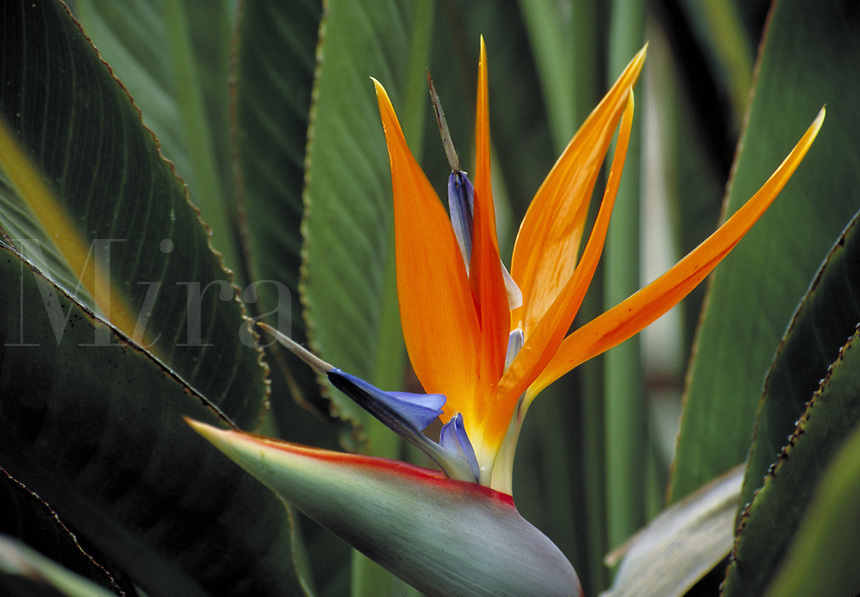 Close-up shot of Bird of Paradise flower. Flower, leaves, garden, plant, colorful. CA USA garden.