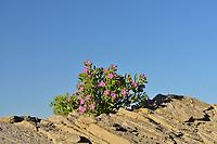 , desert in bloom, Big Bend National Park, West Texas, USA