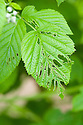 Irregular holes in raspberry leaves caused by moth caterpillars, early May.