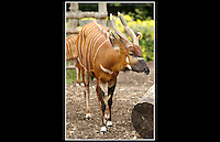 Bongo (Tragelaphus eurycerus eurycerus) - Zoological Society of London - 16th June 2003