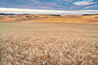 Vast wheat field at sunrise. The Palouse, Washington