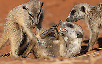 One of the highlights of our visit to Tswalu was the time we spent with meerkats, including a couple of close photo sessions with some families that were more used to human presence.