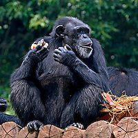 Animais. Mamiferos. Chipanze  (Pan troglodytes) no Zoologicol. SP. Foto de Juca Martins.