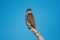 Merlin (Falco columbarius), adult on post, Sinton, Corpus Christi, Coastal Bend, Texas, USA