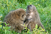 Female Olive Baboons, Papio anubis, grooming in Lake Nakuru National Park, Kenya
