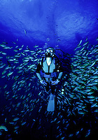 A scuba diver (woman)is surrounded by Bluestripe Snapper as she enjoys exploring Hawaii's coral reef.