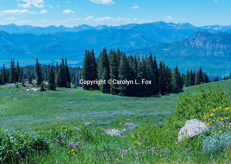 Many varieties of wildflowers grow in the high meadows of Beartooth Highway.