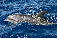 bottlenose dolphin, Tursiops truncatus, Azores Islands, Portugal, North Atlantic