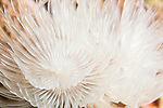 Anda, Bohol, Philippines; a pair of white feather duster worms