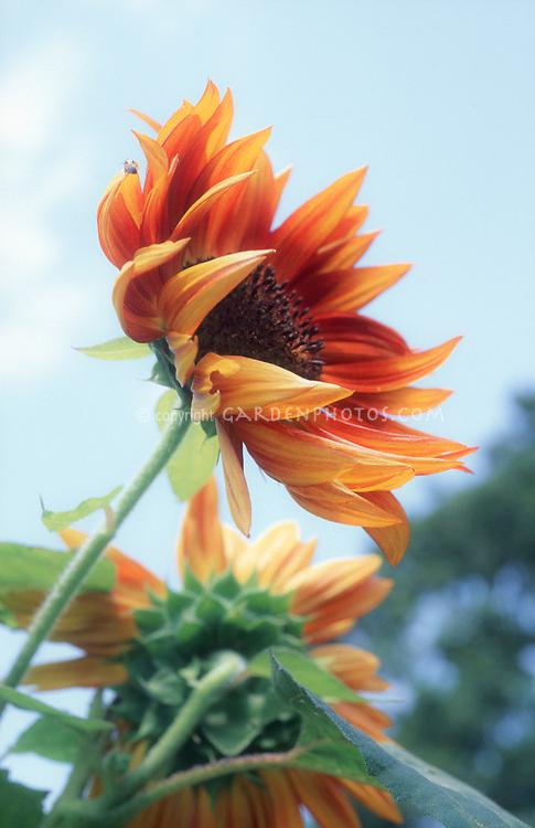Helianthus annuus Sunflower against blue sky