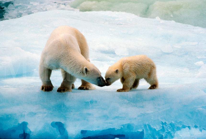 Polar bear mother and cub.