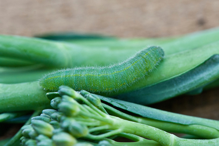 Small cabbage white butterfly caterpillar on sprouting broccoli.
