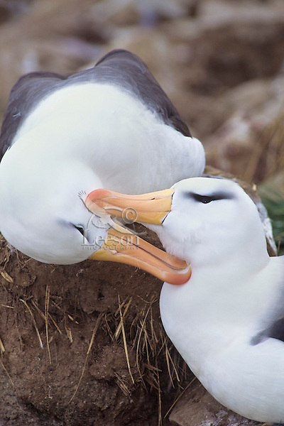 Black-browed Albatross or Black-browed Mollymawk (Thalassarche melanophrys) pair preening each other.  Falkland Islands