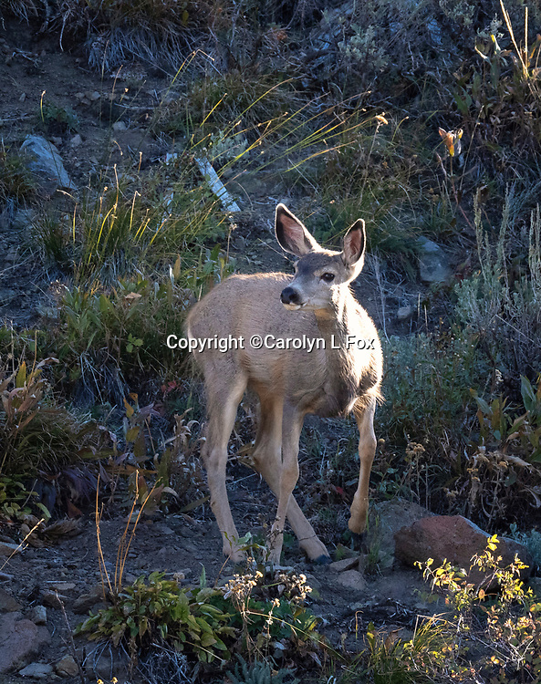 Mule deer are often seen in Yellowstone.