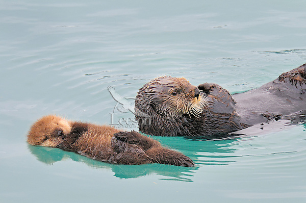 Alaskan or Northern Sea Otter (Enhydra lutris) mom with very young pup.  Young pups at this age cannot dive (can hardly swim) so the mother leaves them floating on the surface while she dives for food--often gone several minutes.  Once she resurfaces she will almost always go an touch the pup before diving again.