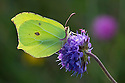 Brimstone butterfly {Gonepteryx rhamni} on Devil's-bit Scabious {Succisa pratensis}. Peak District National Park, Derbyshire, UK. August.