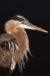 Great blue heron, Fidalgo Island, Washington