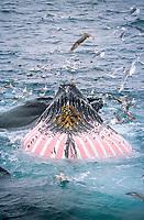 Humpback whales, Megaptera novaeangliae, Bubble net feeding with extended throat pleats, Bear Island, Arctic, Barents sea, North Atlantic