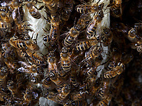 The construction by the bees of wax combs and cells is a unique case in the animal kingdom. The melliferous bees produce the raw materials, the wax and the combs for their nest. They transform the honey's sugar into fatty substances with their wax glands.<br /> La construction par les abeilles des rayons et des cellules de cire est un cas unique dans le monde animal. Les abeilles mellifères produisent la matière première, la cire, et les rayons de leur nid. Elles transforment le sucre du miel en corps gras avec leurs glandes cirières.