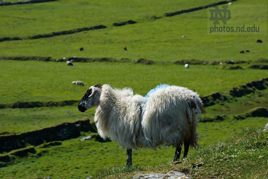 Sheep, Inishark..Photo by Matt Cashore/University of Notre Dame