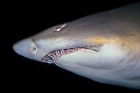 Sand tiger shark mouth detail, Carcharias taurus; found in warm seas worldwide; photo taken in captivity