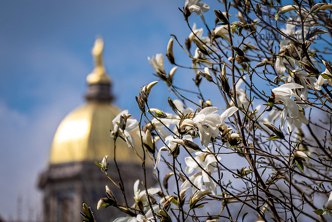 April 7, 2020; Flowering tree (Photo by Matt Cashore/University of Notre Dame)
