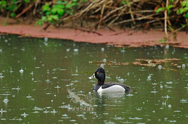 Ring-necked Duck (Aythya collaris) drake in rain.  Pacific Northwest.
