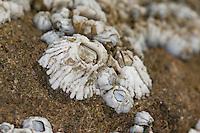 Gemeine Seepocke, Gewöhnliche Seepocke, Gezeitenseepocke, Gezeiten-Seepocke, Seepocken bei Ebbe, Semibalanus balanoides, Balanus balanoides, acorn barnacle, rock barnacle, barnacles