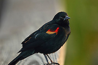 Red-winged Blackbird giving us the eye.  Wakodahatchee Wetlands, Delray Beach, FL, United States