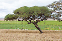 Tanzania. Tarangire National Park. Lions in Tree, Silale Swamp in Background.