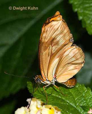 LE45-563z  Julia Longwing Butterfly, Dryas julia, South and Central America