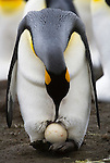 A king penguin incubates its egg on its feet at Gold Harbour on South Georgia Island.