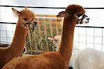 Alpacas having a snack at Cheshire Fair in Swanzey, New Hampshire USA