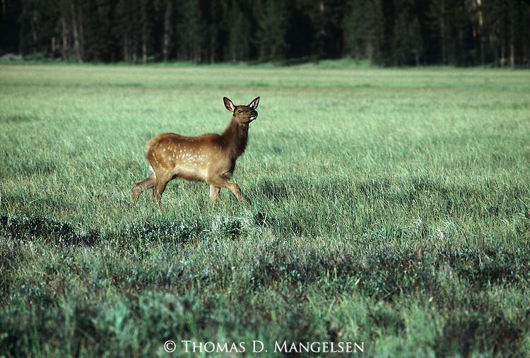 An elk calf walks through a grassy meadow.