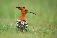 Hoopoe (Upupa epops), adult in grass, Lake Nakuru, Kenya, Africa