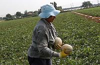 Contadini durante la raccolta di meloni. Farmers during the harvesting of melons....