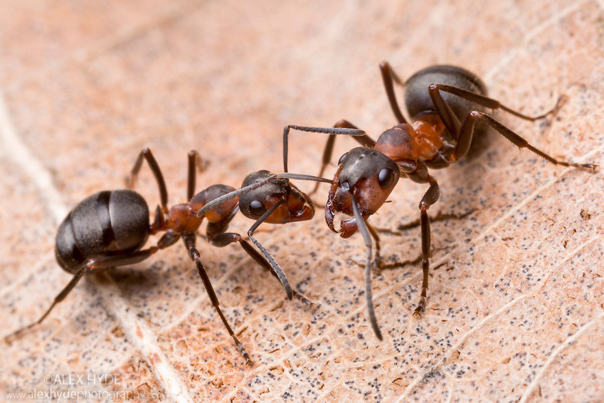 Northern Hairy Wood Ant workers {Formica lugubris}, Peak District National Park, Derbyshire, UK. March.