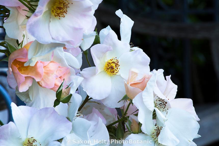 White shrub rose flower, Rosa 'Sally Holmes'