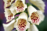 Close up of Dalmatian Foxglove. Oregon