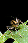 Cave cricket Orthoptera Ceuthophilus gracilipedes insect<br />