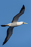 Revillagigedos Islands, Mexico; a Nazca booby flying alongside the boat in early mornng light, against a blue sky, in search of fish during our transit back to Cabo San Lucas