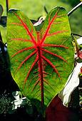 Amazon, Brazil. Caladium bicolor leaf; native to the Amazon but used extensively in Europe as a decorative house plant.