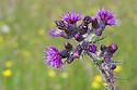 Marsh Thistle {Cirsium palustre} Derbyshire, UK. June.