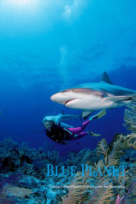 female diver and Caribbean reef shark, Carcharhinus perezii, Bahamas, Caribbean Sea, Atlantic Ocean